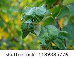sick diseased apple tree leaves | Shutterstock . vector #1189385776