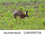 Stock photo a gray brown hare runs across the field with green grass touching the front paws of the earth 1189390756