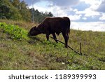 a young bull grazes in a meadow....   Shutterstock . vector #1189399993