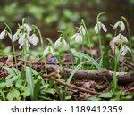 galanthus nivalis crocus white... | Shutterstock . vector #1189412359