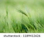 green wheat in the field  | Shutterstock . vector #1189412626