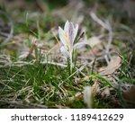 crocus heuffelianus white... | Shutterstock . vector #1189412629