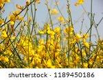 background flowering  spartium... | Shutterstock . vector #1189450186