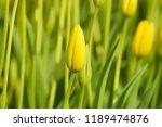 istanbul yellow tulip           ... | Shutterstock . vector #1189474876