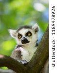 Closeup Of Ring Tailed Lemur ...