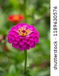 close up of zinnia flower ... | Shutterstock . vector #1189630576