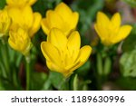 the plant sternbergia lutea  in ... | Shutterstock . vector #1189630996