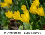 the plant sternbergia lutea  in ... | Shutterstock . vector #1189630999