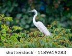 great egret  ardea alba   ... | Shutterstock . vector #1189659283