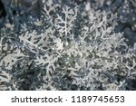the flower of the cineraria...   Shutterstock . vector #1189745653