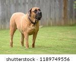 english mastiff standing guard | Shutterstock . vector #1189749556