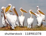 great white pelicans in lake... | Shutterstock . vector #118981078