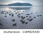 many turtle hatchlings making... | Shutterstock . vector #1189825330