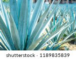 a small agave field for tequila ... | Shutterstock . vector #1189835839