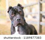 a presa canario dog with...   Shutterstock . vector #1189877383