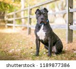 a brindle and white presa...   Shutterstock . vector #1189877386
