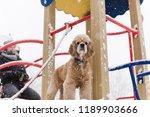cute dog look at camera at... | Shutterstock . vector #1189903666