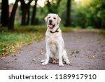 Stock photo labrador dog outdoors the autumn beautiful labrador retriever in the park portrait 1189917910