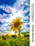 Sunflower Field On Cloudy Sky...