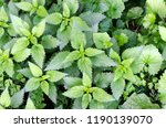 detail on common nettle. urtica ... | Shutterstock . vector #1190139070