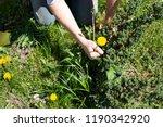 works in the garden. weeding... | Shutterstock . vector #1190342920