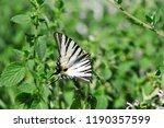 The Scarce Swallowtail  Sail...