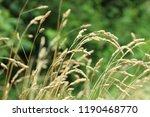 dried grass in a field close up   Shutterstock . vector #1190468770