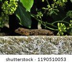 close up view on european lizard | Shutterstock . vector #1190510053