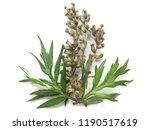 mugwort  artemisia vulgaris