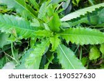 a weed in the garden  a large... | Shutterstock . vector #1190527630
