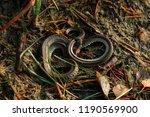 the grass snake natrix natrix ...   Shutterstock . vector #1190569900