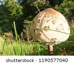 shaggy parasol mushroom scotland | Shutterstock . vector #1190577040