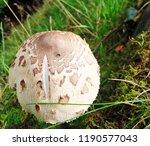shaggy parasol mushroom scotland | Shutterstock . vector #1190577043