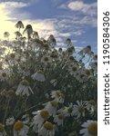 wild german chamomile blooming... | Shutterstock . vector #1190584306