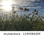 wild german chamomile blooming... | Shutterstock . vector #1190584309
