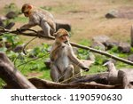 young barbary macaque or ape ... | Shutterstock . vector #1190590630