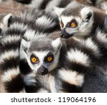 Ring Tailed Lemurs  Lemur Catt...