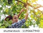 the girl winemaker harvesting... | Shutterstock . vector #1190667943
