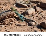 Collared Lizard At Colorado...