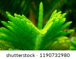 closeup pine tree leaf... | Shutterstock . vector #1190732980