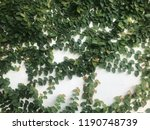 green creeper on old wall   Shutterstock . vector #1190748739