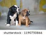 Stock photo animal love american bully puppy 1190750866
