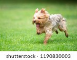 Yorkshire Terrier Running On A...