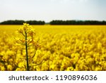 close up photo of rapeseed... | Shutterstock . vector #1190896036