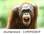is a type of great ape with... | Shutterstock . vector #1190932819