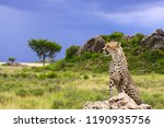 cheetah on the background of... | Shutterstock . vector #1190935756