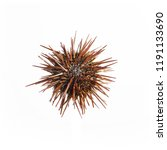 Sea Urchin With Spikes On White ...