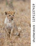 lion cub sitting in the rain in ... | Shutterstock . vector #1191137419