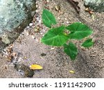 young tree   tree in nature... | Shutterstock . vector #1191142900