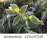 frosted edges of a potato leaf...   Shutterstock . vector #1191147229